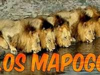 Mapogo lvi - Příběh 6 lvů, kteří dominovali rezervě. Lev ve vodě.