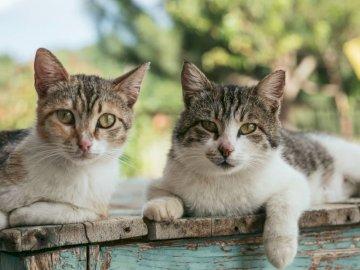 Rodzina kotów - Dwa brązowego pręgowanego kota na drewnianych deskach. Bruksela, Belgia. Kot siedzi na ławce.