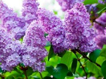 LILIOWY - NATURALNA PASCHALIA. A z bliska purpurowy kwiat z Hulda Klager Lilac Gardens w tle.