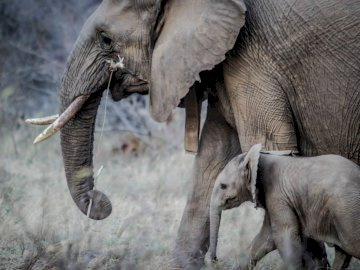 Elephants scene 3 - Elephant, the elephant, the nature. A mother and baby elephant walking in the grass.