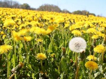 κίτρινο λουλούδι - τακτοποιήστε τα παζλ και θα μάθετε τι είναι κάτω από αυ