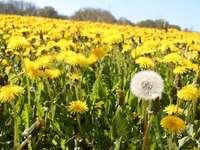 Flor amarela - organize os quebra-cabeças e você descobrirá o que há sob eles. Uma flor amarela em um campo.