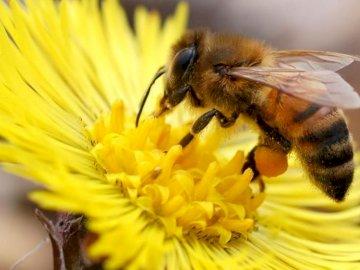 Apis mellifica - Ułóż nasze dzisiejsze puzzle, czy już znasz tego pożytecznego owada?. Zakończenie up żółty