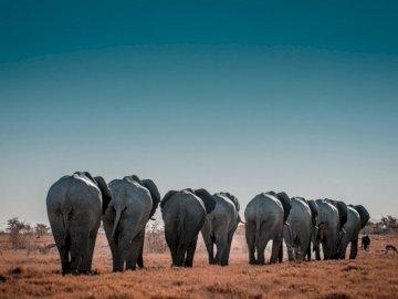Park Narodowy Etosha - Szare i czarne słonie w ciągu dnia. Barcelona. Stado słoni idących przez pole suchej trawy.