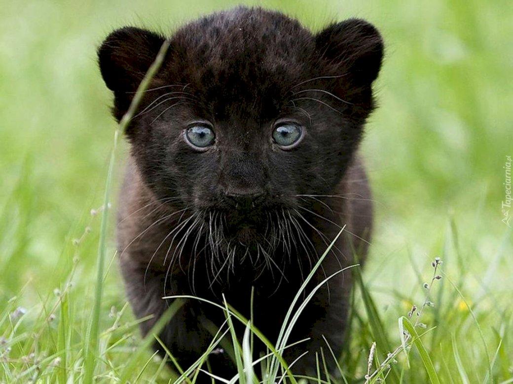 Kleine panter - Kleine panter. Kruipt er iets, ritselt iets? Oef, het is maar een kleine zwarte panter. Waar is haar moeder ?! Het is beter om elkaar niet te ontmoeten. Een kattenzitting bovenop een gras behandeld ge (3×3)