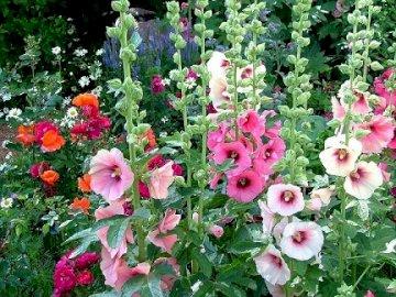Malve ... - Puzzle: malva da giardino. Una stretta di un giardino fiorito.