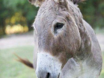 Osioł- puzzle - Osioł- puzzle 4-elementowe. Zbliżenie konia, który patrzy w kamerę.