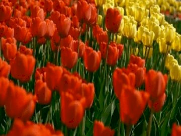 Tulips field - Tulips field. A colorful flower on a plant.