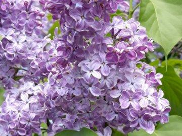 lilla primaverile - fioritura primavera lilla a maggio. Una stretta di un fiore viola su una pianta.