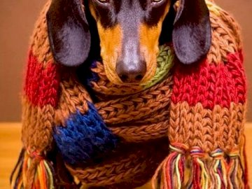 Cold dachshund - Dachshund cold, long live the warm scarf!. A dog looking at the camera.