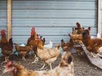 Arkansas kuřata