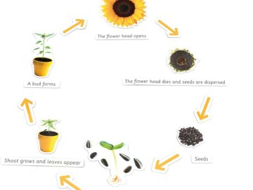 from a seed to a flower - life cycle of a flower. A close up of text on a white background.