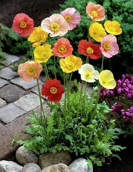Colorful poppies. - Jigsaw puzzle. Colorful poppies in the garden. A close up of a flower.