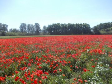 Spring poppy field - beautiful poppies. A red flower in a field.