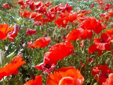 roter Traum - Mohnblumen ein richtiger Traum. Eine rote Blume.