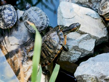 Tartarughe con insalata e giallo - Tartaruga nera e gialla su roccia grigia. Zolotaya Dolina, Russia. Una tartaruga su una roccia.
