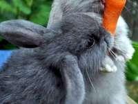Kanin - pussel i 4 delar - Kanin - pussel i 4 delar. Ett närbild av ett djur.