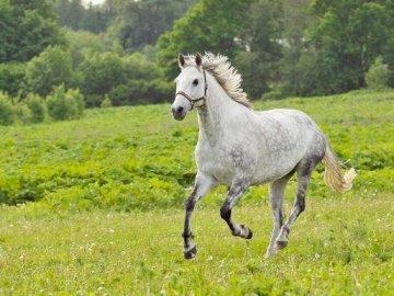 Galopujący koń - Galopujący, siwy koń. Mam nadzieję, że miło się będzie układało. Brązowo-biały koń stoj�