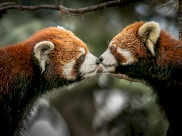 Les pandas sont petits - Aimer les petits pandas. Écrivez dans le commentaire qui veut plus d'animaux si mignons;).