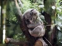 κοαλα - χαριτωμένη κοάλα αρκούδας ύπνου. Μια κοάλα που κάθεται
