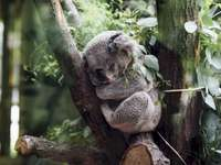 Koala bear - cute sleeping koala bear. A koala sitting on the branch of a tree.