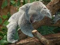αρκούδα κοάλα 3 - κοιμισμένη κοάλα αρκούδα στο δέντρο. Ένα κοάλα που τρώ�