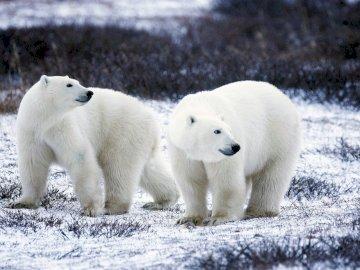 polar bear - two polar bears on a walk. A large white polar bear walking across a snow covered field.