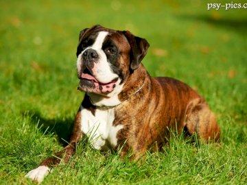 bokserpies - el mejor perro del mundo. Un perro marrón y blanco sentado encima de un campo cubierto de hierba.