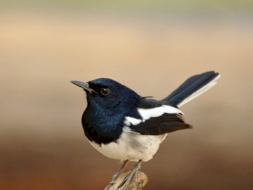 Small bird - Magpie Robin - Black and white bird on brown tree branch. A black bird standing next to a body of water.