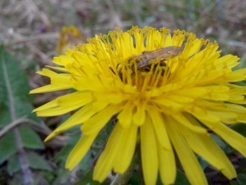 And there will be honey - Bee on dandelion. A yellow flower.