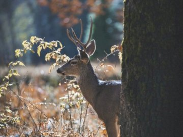 Male deer in the US - Male deer in Yosemite Valley, California, USA. A deer standing in the grass.