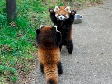 Red Pandas. - Jigsaw puzzle. Animals: red pandas. A panda bear walking across a dirt road.