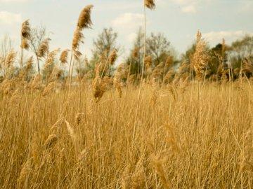 Felder aus Gold - Pflanzenfeld. Rotterdam, Niederlande. Ein Feld aus hohem Gras.