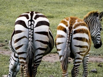 Younger zebras have a - Two zebra on grass field during daytime. A zebra standing on top of a grass covered field.