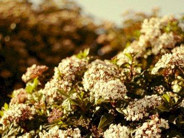 Nadchodzi wiosna - Białe i zielone pąki kwiatowe. Chambéry. Zamknięta roślina.