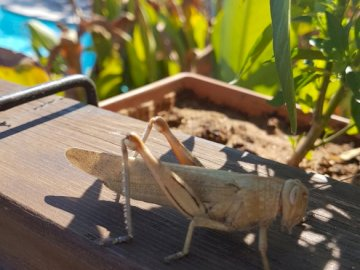 A huge beautiful cricket - We managed to capture this beautiful pet by the pool in Turkey during the holidays :)). A bird sitti