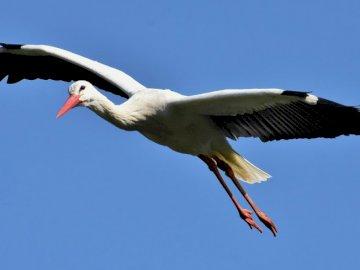 Storch im Flug - Ein Puzzle für Kinder, wenn es um das Thema Frühlingsrückkehr von Vögeln geht. Ein Vogel fliegt