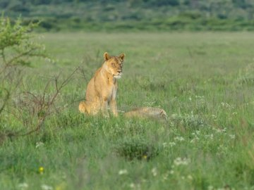 Lion, Botswana - Brown lioness on green grass field during daytime. A lion sitting in a grassy field.
