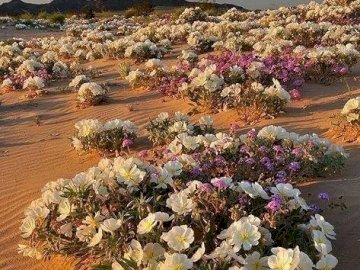 Desert Evening Primrose. - Jigsaw puzzle. Desert Evening Primrose. A close up of a flower.