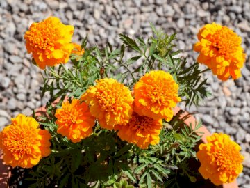 die Orange auf meiner Terrasse - die Orange auf meiner Terrasse. Eine Vase voller lila Blumen.