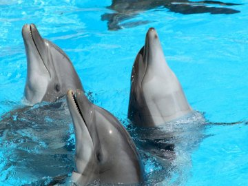 Three dolphins - Dolphins dancing in the water. A dolphin swimming in a pool of water.