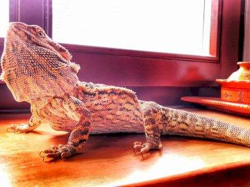 bärtige Agama - Agama Bearded - ein Tier aus Australien. Eine Eidechse auf einem Holztisch.