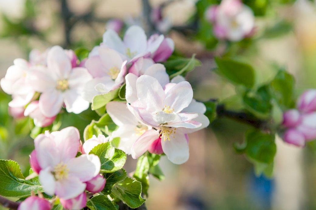 květ jabloně - jabloň kvetoucí na jaře. Zblízka květu (10×9)