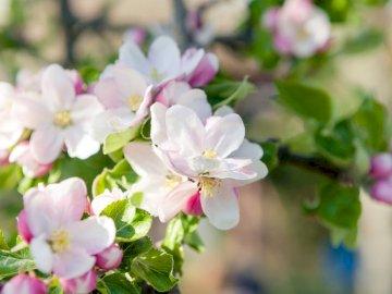 Apfelblüte - Apfelblüte blüht im Frühjahr. Eine Nahaufnahme einer Blume.