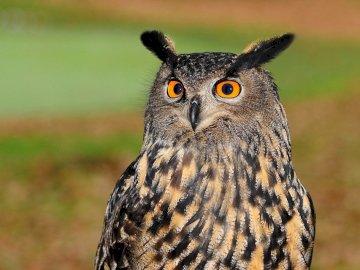 European owl - European owl en face. A close up of an owl.
