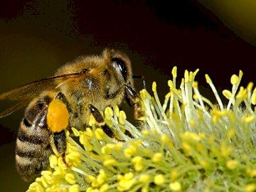 Biene - Biene auf Blume. Eine Nahaufnahme einer gelben Blume.