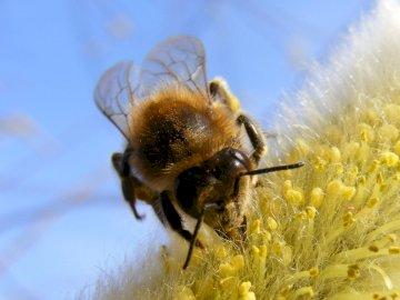 Biene - Biene auf einer blühenden Weide. Eine Nahaufnahme einer gelben Blume.