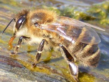 Biene - Honigbiene trinkt Wasser. Ein Insekt am Boden.