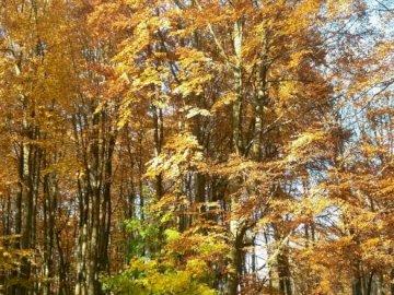 Polish autumn - Beautiful, Polish, golden autumn. A large tree.