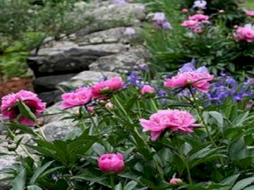 Peonies - Peonies. A close up of a flower garden.